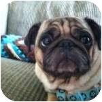 Pug Dog for adoption in Windermere, Florida - Larry