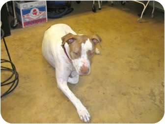 American Bulldog/Pointer Mix Dog for adoption in Scottsdale, Arizona - Fred