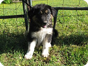 Great Pyrenees/Labrador Retriever Mix Puppy for adoption in Bedminster, New Jersey - Quinco
