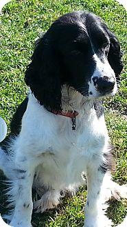 Springer Spaniel Dog for adoption in New Windsor, New York - GORDON