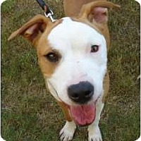 Adopt A Pet :: Pumpkin - Arlington, TX