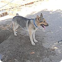 Adopt A Pet :: Ziggy - Victorville, CA