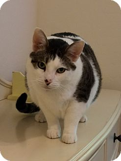 Domestic Shorthair Cat for adoption in Mesa, Arizona - Purell