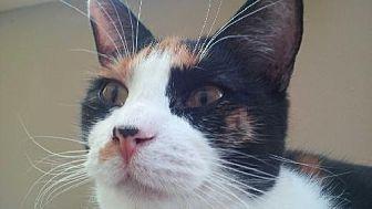 Calico Cat for adoption in Diamondville, Wyoming - Queen