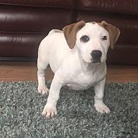 Adopt A Pet :: Dane - Westminster, MD