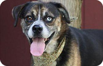 Shepherd (Unknown Type)/Hound (Unknown Type) Mix Dog for adoption in Voorhees, New Jersey - Bradford