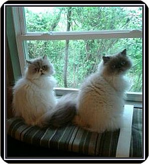 Himalayan Cat for adoption in Virginia Beach, Virginia - Diva and Sanoma