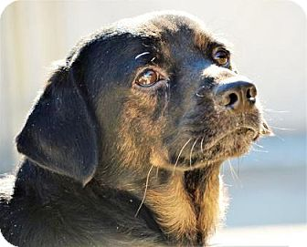 Bernese Mountain Dog/Rottweiler Mix Dog for adoption in Lincolnton, North Carolina - Roscoe