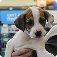 Adopt A Pet :: BENSON - Las Vegas, NV
