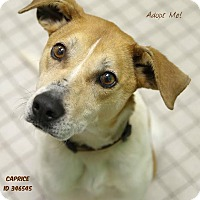 Adopt A Pet :: Caprice - Camden, DE