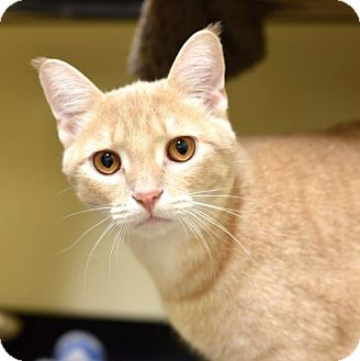 Domestic Shorthair Cat for adoption in St. Paul, Minnesota - Mustard and Basil