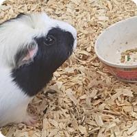 Adopt A Pet :: Blossom - Kenosha, WI
