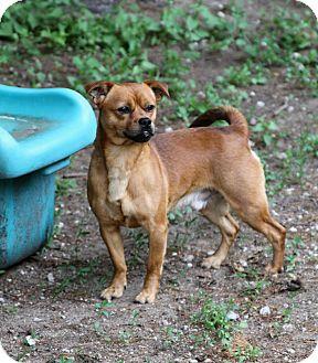 Pug Mix Dog for adoption in Muskegon, Michigan - Felix