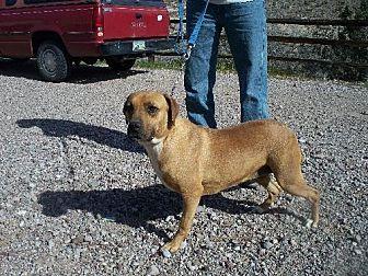 Shar Pei Dog for adoption in Golden Valley, Arizona - Janta
