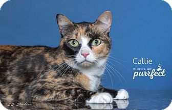 Domestic Mediumhair Cat for adoption in Houston, Texas - Callie