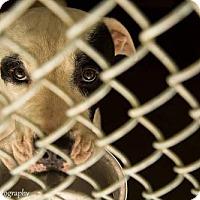 American Bulldog Mix Dog for adoption in Clarkesville, Georgia - Ranchero: Lee Arrendale Prison Program
