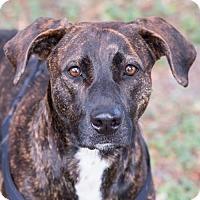 Boxer/Labrador Retriever Mix Dog for adoption in Miami, Florida - Lola
