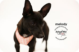 Whippet/Chihuahua Mix Puppy for adoption in Aqua Dulce, California - Melody