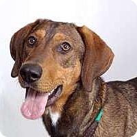 Adopt A Pet :: Peyton - Sudbury, MA
