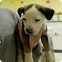 Adopt A Pet :: Ivy - Cherry Hill, NJ