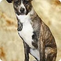 Boxer Mix Dog for adoption in mishawaka, Indiana - Becky
