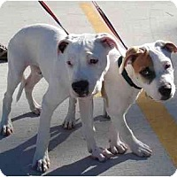 Adopt A Pet :: Big Boy - Kingwood, TX