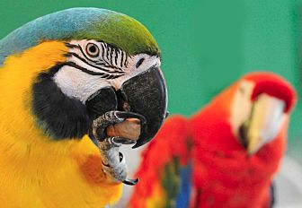 Macaw for adoption in Asheville, North Carolina - OLLIE & Layla