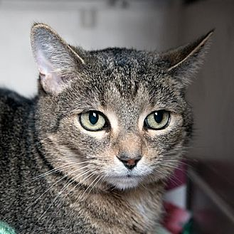 Domestic Shorthair Cat for adoption in Franklin, Indiana - Shorty