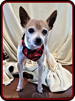 Chihuahua Dog for adoption in Newfield, New Jersey - Amigo