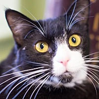 Domestic Shorthair Cat for adoption in Auburn, California - Flop