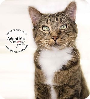 American Shorthair Cat for adoption in Belton, Missouri - DQ