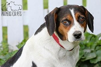 Beagle Dog for adoption in Troy, Illinois - Brenda Fostered (Matt H)