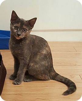 Domestic Shorthair Kitten for adoption in Stafford, Virginia - Ivy