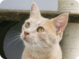 Domestic Shorthair Cat for adoption in Republic, Washington - Harrah