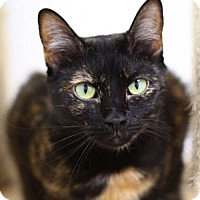 Domestic Shorthair Cat for adoption in Raleigh, North Carolina - Tenille S