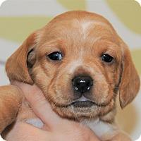 Adopt A Pet :: Honey Bun - Agoura Hills, CA
