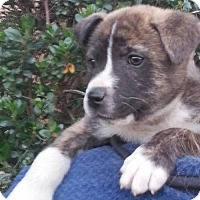 Adopt A Pet :: 4 Akita male - Long Beach, CA