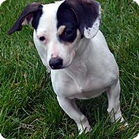 Adopt A Pet :: Tallulah-ADOPTION PENDING - Bridgeton, MO