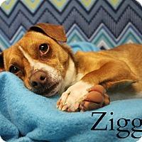 Adopt A Pet :: Ziggy - Melbourne, KY