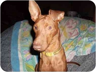 Miniature Pinscher Puppy for adoption in Phoenix, Arizona - Tater Tot