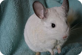 Chinchilla for adoption in Patchogue, New York - Kitty
