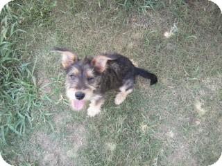 Schnauzer (Standard)/Terrier (Unknown Type, Medium) Mix Puppy for adoption in Gadsden, Alabama - Sasha