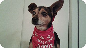 Miniature Pinscher Mix Dog for adoption in Burbank, California - Tippi