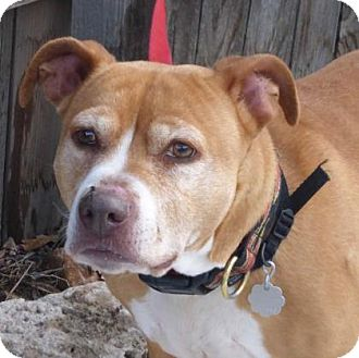 Pit Bull Terrier Mix Dog for adoption in Evans, Colorado - Sheila