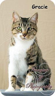 Domestic Shorthair Cat for adoption in Oklahoma City, Oklahoma - Gracie