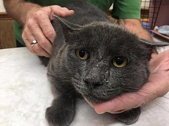 Russian Blue Cat for adoption in Ocala, Florida - Smokey