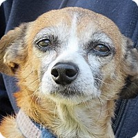 Chihuahua/Dachshund Mix Dog for adoption in Germantown, Maryland - Lucie