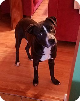 Pointer Mix Puppy for adoption in Raeford, North Carolina - King