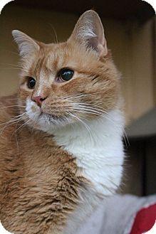 Domestic Shorthair Cat for adoption in Colorado Springs, Colorado - Minnie Bird