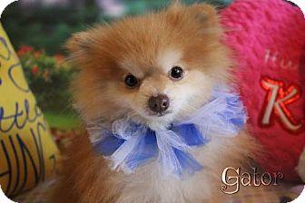 Pomeranian Dog for adoption in Benton, Louisiana - Gator